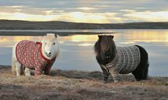 Shetland ponies pose with their knitted jumpers as part of the Year of Natural Scotland celebrations
