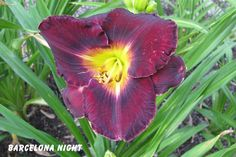 Photo of Daylily (Hemerocallis 'Barcelona Night') uploaded by mcash70