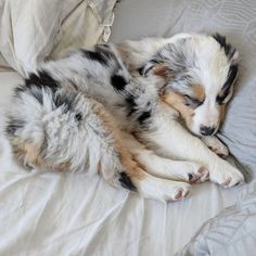 More About The Aussie Puppy Grooming Australian Shepherd Tips Source by The post Australian Shepherd Tips appeared first on McGregor Dogs. Australian Shepherd Puppies, Aussie Puppies, Cute Puppies, Cute Dogs, Dogs And Puppies, Doggies, Miniature Australian Shepherds, Aussie Shepherd Puppy, Mini Aussie Puppy