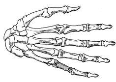 Human hand bones.