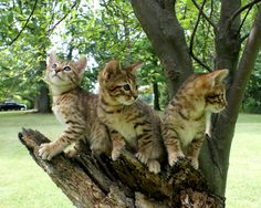 Cheetoh Cats - I want one!!