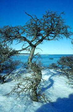 The sea buckthorn thrives on sunny exposed beaches. The acidic orange berries are extremely rich in vitamin C. - Ostrobothnia province of Western Finland. Pohjanmaa  photo Eero Murtomäki