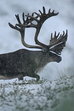 Caribou ~~♥~~ Beautiful Antlers