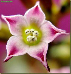 Adromischus subdistichus flower
