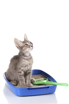 10 of the Best Ways To Eliminate Litter Box Odors That May Surprise You! Kittens Cutest, Cute Cats, Ragdoll Kittens, Funny Kittens, Bengal Cats, Kitty Cats, Cat Pee Smell, Orange Tabby Cats, Norwegian Forest Cat