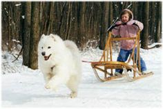 so getting our child and samoyed a sled :)