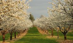 Magnificent Almond trees -- Spring in Provence