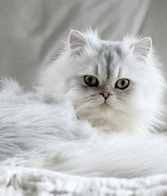 Persian Kittens chinchilla persian cat breed - A variation of the popular Persian cat breed is rising in popularity Cute Cats And Kittens, I Love Cats, Crazy Cats, Kittens Cutest, Ragdoll Kittens, Funny Kittens, Tabby Cats, Bengal Cats, Pretty Cats