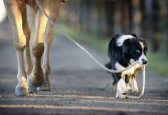 Hekan The Border Collie Rides Horses And Helps Run An Equestrian Center