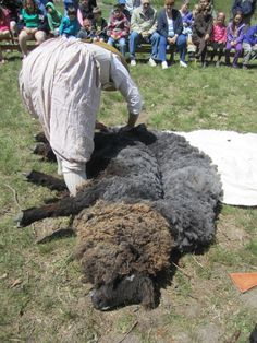 Leicester Longwool sheep  Some PETA reps won't wear wool because shearing abuses the sheep. This ewe is clearly in distress!