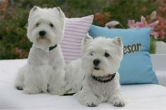 Westies ~ Mr. & Mrs. :)