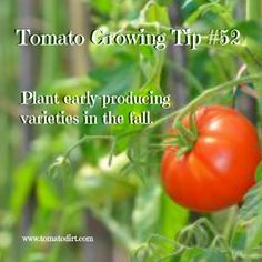 I Plant Second Season Tomatoes – and When? Second season tomato varieties (fall varieties) to grow. Tomato Growing Tip with Tomato DirtSecond season tomato varieties (fall varieties) to grow. Tomato Growing Tip with Tomato Dirt Tips For Growing Tomatoes, Growing Tomato Plants, Growing Tomatoes In Containers, Growing Vegetables, Grow Tomatoes, Yellow Tomatoes, Cherry Tomatoes, Garden Soil, Fruit Garden