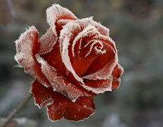 Frost-clad rose.