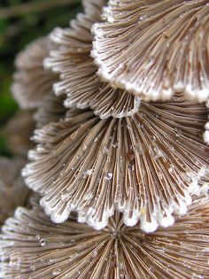 Fringed Benifits by Carla Wick/Jandelle Petters. Great medicinal mushroom species called Split Gill or Schizophylum commune moss benefits Natural Forms, Natural Texture, Au Natural, Patterns In Nature, Textures Patterns, Mushroom Fungi, Mushroom Species, Slime Mould, Polychromos