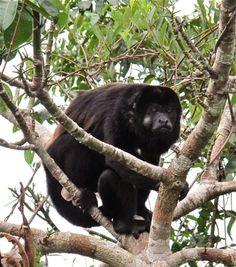 Howler Monkey - Panama