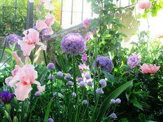Globemaster allium with pink bearded iris Driveway Border, Cottage Garden Plants, Bearded Iris, Allium, Flower Beds, Horticulture, Lawn And Garden, Outdoor Gardens, Poppies