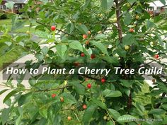 What to plant with your cherry tree for better production.