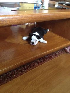 Puppy Relaxing Under the Coffee Table - http://www.bterrier.com/puppy-relaxing-under-the-coffee-table/ https://www.facebook.com/bterrierdogs
