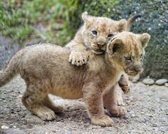 Pictures lion Big cats Cubs Two animal Lions 2 Animals Big Cats, Cats And Kittens, Cute Cats, Beautiful Cats, Animals Beautiful, Cute Baby Animals, Animals And Pets, Cute Lion, Lion Cub