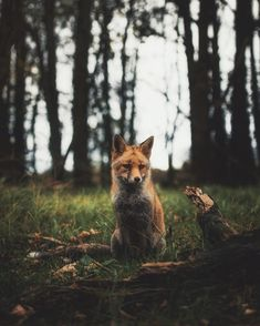 ~ Young fox fella thinking the next move