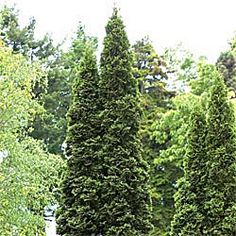 Green Giant Arborvitae. $19.99. Instead of a privacy fence