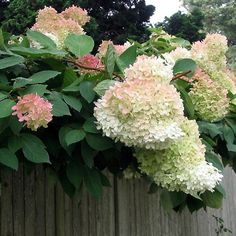 PEE GEE HYDRANGEAS ON CAPE COD