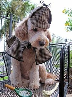 Labradoodles are extraordinary investigators.