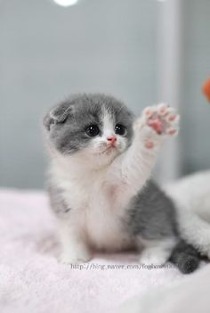 gray & white kitten. omg