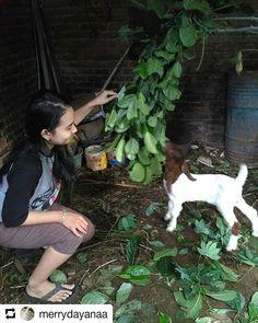 #Repost @merrydayanaa    Anak kambing saya