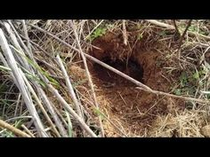 Make a dirt hole set for coyote trapping like a coyote - YouTube #coyotehuntinghowtomake
