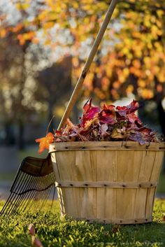 Autumn leaves in basket with rake, Westwood, CA by Gary Conner on Getty Images