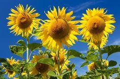 Mit dieser Fototapete von Christian Camenzind können Sie sich das ganze Jahr über den Sommer in Ihr Haus holen. Das detailgenaue Motiv der leuchtenden Sonnenblumen vor dem tiefblauen Himmel verbreitet ein besonders freundliches Ambiente und verleiht jedem Raum eine freundliche, stimmungsvolle Atmosphäre.