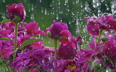 Yağmur damlaları ve mor çiçekler