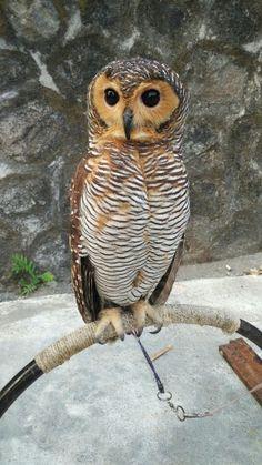 Strix sloputo owl