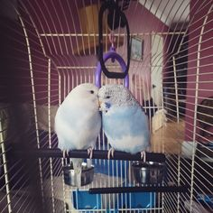 Got home and our beautiful budgies are here  meet Gatsby and Sulley! #budgies #newpets #sopretty #birds