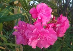 Oleander, Kos - Foto: S. Hopp