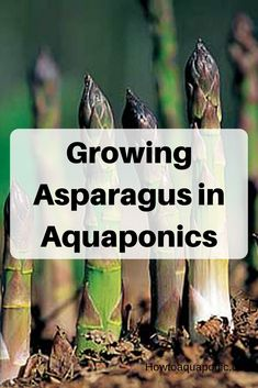 Do you want to grow asparagus in aquaponics? Check out our website to get tips about growing asparagus in your aquaponics system. Which issues asparagus have and what to do about it. Aquaponics Greenhouse, Aquaponics Plants, Aquaponics System, Hydroponic Gardening, Organic Gardening, Buy Seeds Online, Grow Organic, What Is Need, Diys