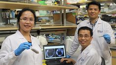 "Scientists from the National University of Singapore (NUS) have developed a novel nanodiamond-based contrast agent – a chemical ""dye"" used to enhance the visibility of internal body structures in magnetic resonance imaging (MRI) – that improves visualisation of liver..."