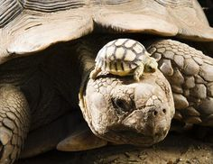 A four-day old African spurred tortoise, Geochelone Sulcata, one of eight babies, sunbathes on the head of its mother in their enclosure in Nyiregyhaza Animal Park in Nyiregyhaza, Hungary,