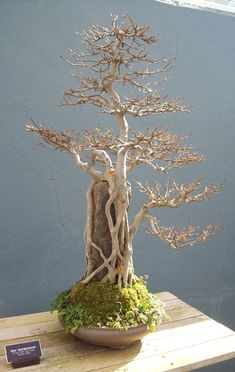 It's the white tree of Gondor!.I really love the look of #bonsai trees.Please check out my website thanks. www.photopix.co.nz