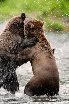 Grizzly Bears - Chugach National Forest