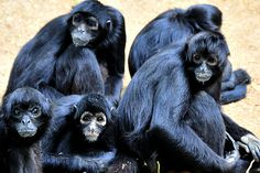 Protect Endangered Black Spider Monkeys