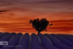 Lavender love by Tramont_ana  France Popular Tags Provence Valensole colorful dark fields organic purple rows sky sunrise sunset t