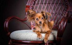 Companion Dogs: A Review legjobb fajták (+ fotók)