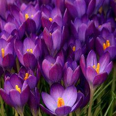 Simply beautiful, purple Crocus flowers! ~ photo by Ken Hircock