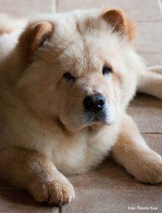 Chow Chow Dog Breed Photography Puppy Hounds Chien Puppies Pup
