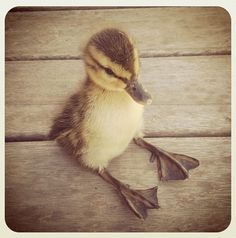 TINY DUCK SITTING LIKE A HUMAN