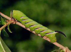Image result for privet hawk moth caterpillar uk Pinterest