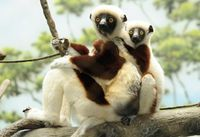 Sifaka mother and child at the Bronx zoo. Photo by Julie Larsen Maher / Wildlife Conservation Society