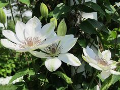 Generous Gardeners: Plant Library Entry for Clematis 'Henryi'/Clematis, Henryi Clematis. Get detailed information about this plant here.